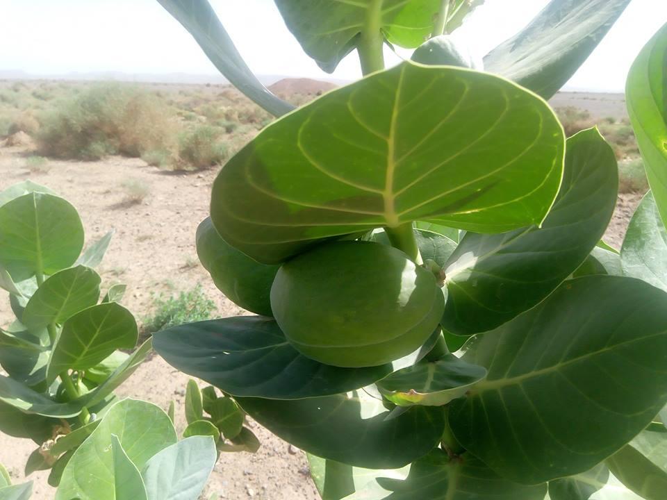 La pomme du désert